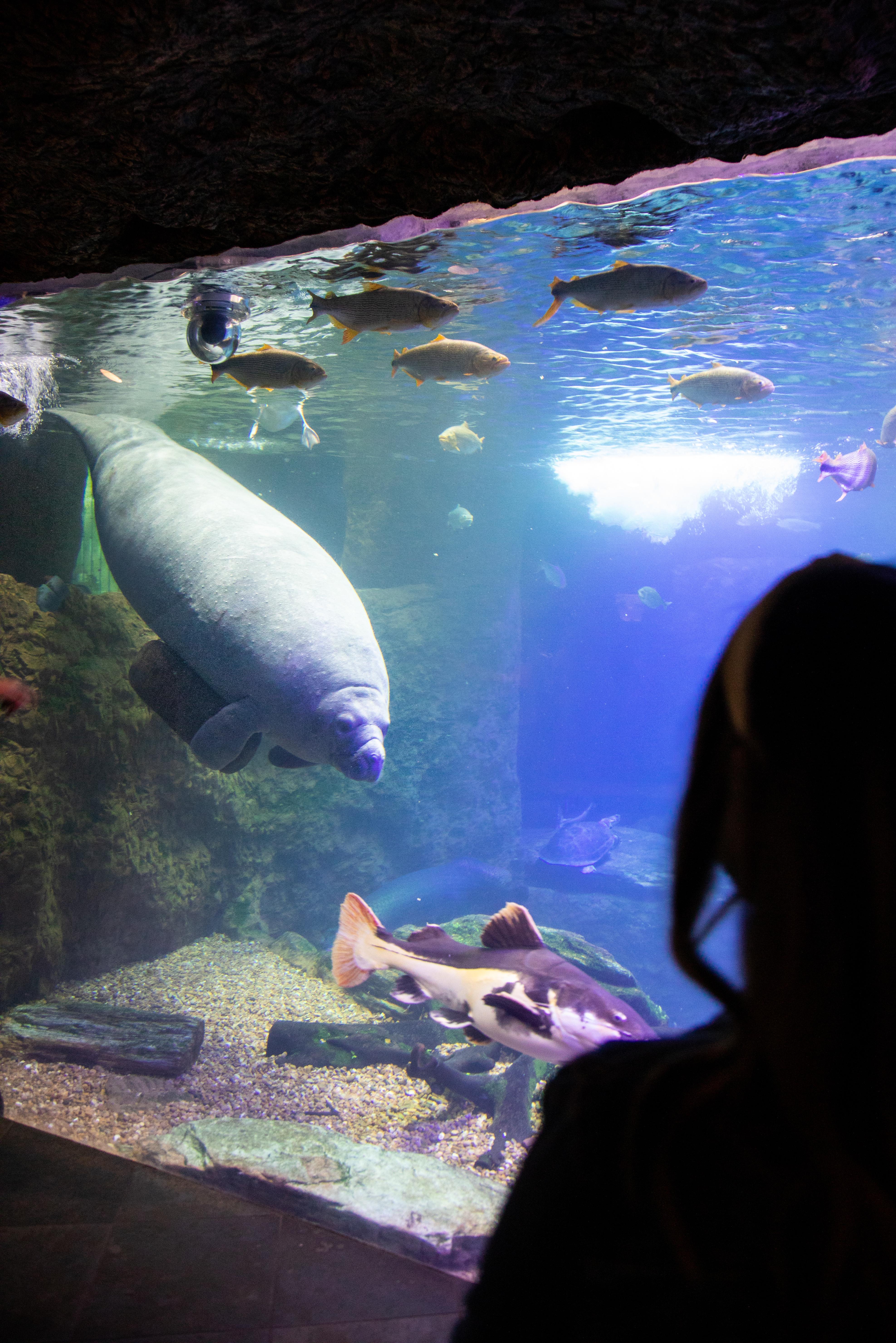 Dallas World Aquarium manatee