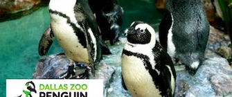 Dallas Zoo Penguin Days