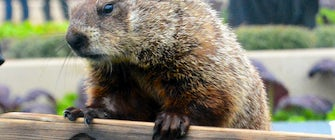 Arboretum Annie, Dallas' Favorite Groundhog Meteorologist, Returns