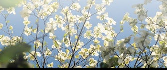 Dogwood Blooms Guided Hike